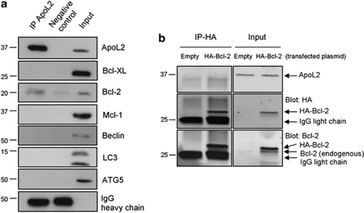 Immunoprecipitation of ApoL2 in HeLa cells. ( a ) Endogenous ApoL2 was immunoprecipitated (IP) and the presence of the indicated proteins was assayed by western blot. Blots from a single experiment representative of three independent experiments are shown. ( b ) HeLa cells were transfected with HA-Bcl-2 or empty vector. Anti-HA was used for immunoprecipitation and the presence of ApoL2, Bcl-2 and HA was assayed by western blot. Panel shown is representative of three independent experiments. Left and right panels were cropped from the same films