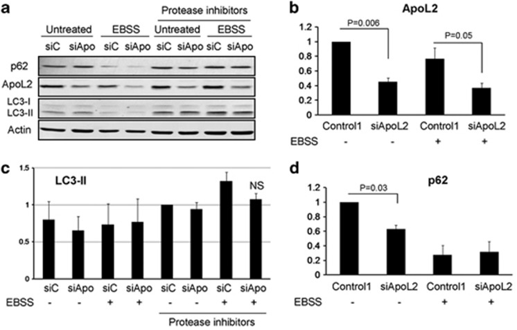ApoL2 does not regulate autophagy. HeLa cells were transfected with siRNA Control 1 (labeled as siC) or siRNA against ApoL2-II (labeled as siApo) for 48 h and then the medium was changed or they were incubated with EBSS for 6 h to induce autophagy. The protease inhibitors pepstatin and E64D (10 μ M each) were used to block autophagic flux. A representative western blot is shown in a . ApoL2 levels were quantified and are shown in b : data were weighted to ponceau or actin and then normalized against Control 1-transfected untreated cells. ( c ) Quantification of relative LC3-II levels: data were weighted to ponceau or actin and then normalized against Control 1-transfected HeLa cells with protease inhibitors as control of basal autophagy. ( d ) Quantification of relative p62 levels: data were weighted to ponceau or actin and then normalized against Control 1-transfected untreated cells. Graphs show average and S.D. of three independent experiments