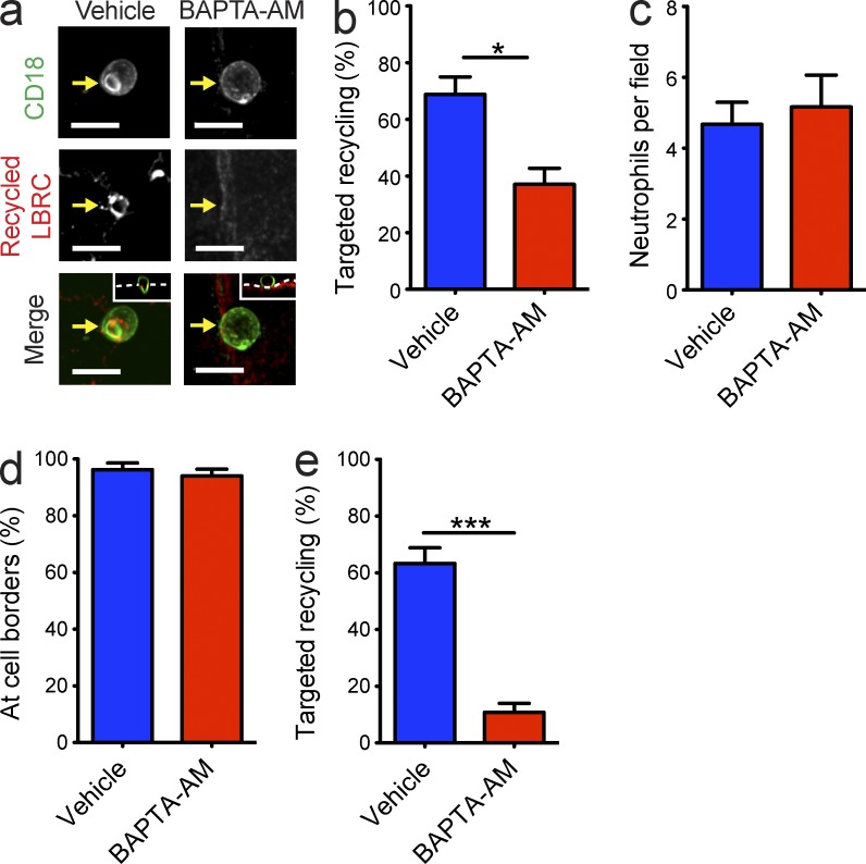 Endothelial ↑[Ca 2+ ] i is required for LBRC targeted recycling. (a–e) Freshly isolated neutrophils (a–d) or monocytes (e) were added to HUVEC monolayers that were pretreated with vehicle (DMSO) or 20 µM BAPTA-AM. LBRC trafficking (a, b, and e), neutrophil adhesion (c), and neutrophil crawling (d) were assessed using our targeted recycling assay, as described in Materials and methods. Representative images (a) demonstrate targeted recycling to the site of neutrophil TEM (bars, 10 µm). Arrows denote the site where LBRC is or should be enriched. Insets in a are orthogonal (XZ) projections of the arrested neutrophil with respect to the endothelial monolayer (dashed line at the position shown in the merged images). Data represent the mean ± SEM of at least three independent experiments in which each condition was tested in triplicate. *, P