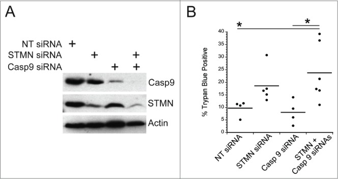 Initiator caspase 9 is not required for cell death in stathmin-deleted Hela cells. ( A ) Western blot demonstrating knockdown of caspase 9 alone or in combination with stathmin depletion. Tubulin was used as a loading control. ( B ) Percent trypan blue positive cells for the indicated conditions measured 48 hr after transfection. * denotes P