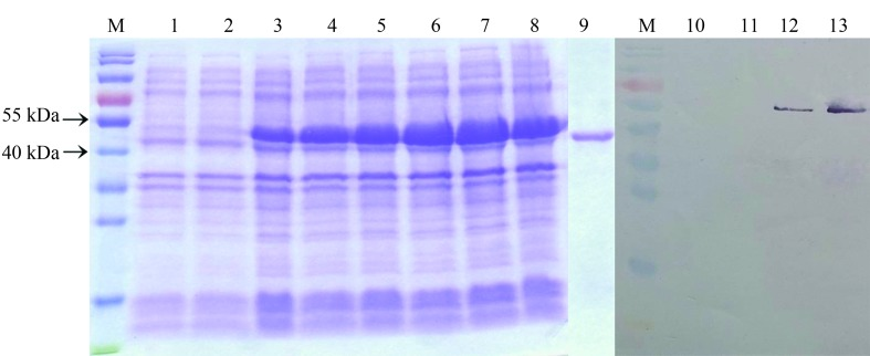 SDS-PAGE and Western blot analysis of the expression of recombinant Ifu-Chit2 in E. coli . Lane M: pre-stained protein marker; Lane 1: total protein of cells containing empty vector <t>pET-28a</t> with IPTG induction; Lane 2: total protein of cells containing expression vector pET- 28a-Ifu-chit2 without IPTG induction; Lanes 3–8: total protein of cells containing expression vector pET- 28a-Ifu-chit2 induced by IPTG at 28 °C for 1, 2, 3, 4, 5 and 6 h, respectively; Lane 9: purified recombinant Ifu-Chit2 (50 kDa). Lane 10: total protein of cells containing empty vector pET-28a with IPTG induction; Lane 11: total protein of cells containing expression vector pET- 28a-Ifu-chit2 without IPTG induction; Lane 12: total protein of cells containing expression vector pET- 28a-Ifu-chit2 induced by IPTG at 28 °C for 4 h; Lane13: Purified recombinant Ifu-Chit2.