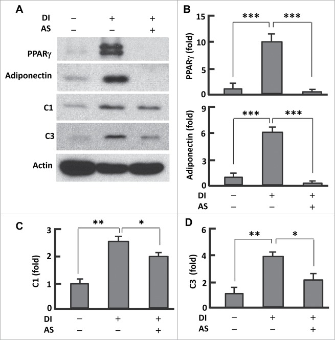 AS1842856 suppressed PPARγ and mitochondrial protein expression. ( A ) Western blots showing the effect of AS1842856 on PPARγ, adiponectin, mitochondrial proteins C1 and C3. β-actin was probed as the loading control. DI, differentiation induction; AS, AS1842856. ( B–D ) Densitometric analysis of western blot images with NIH ImageJ software; n = 3−5. * P