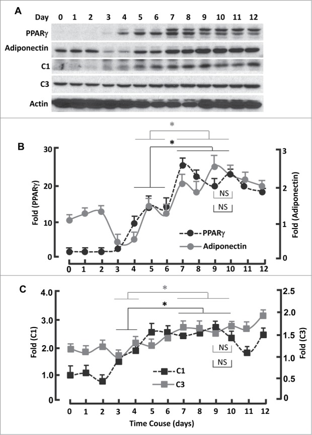 Kinetics of FoxO1-regulated protein expression during adipogenesis. ( A ) Western blots showing the expression of PPARγ, adiponectin, mitochondrial proteins C1 and C3. β-actin was probed as the loading control. ( B ) Densitometric analysis of western blot images for PPARγ and adiponectin with NIH ImageJ software. ( C ) Densitometric analysis of protein gel blot images for C1 and C3 with NIH ImageJ software. n = 3−5. * P