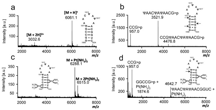 Mass analysis of platinated modified H69 is shown. Mass spectra of ( a ) modified H69 parent RNA (unplatinated RNA); ( b ) RNase T1 digestion of unplatinated H69; ( c ) platinated modified H69; and ( d ) RNase T1 digestion of platinated modified H69 are given. Arrows indicate RNase T1 cleavage sites.