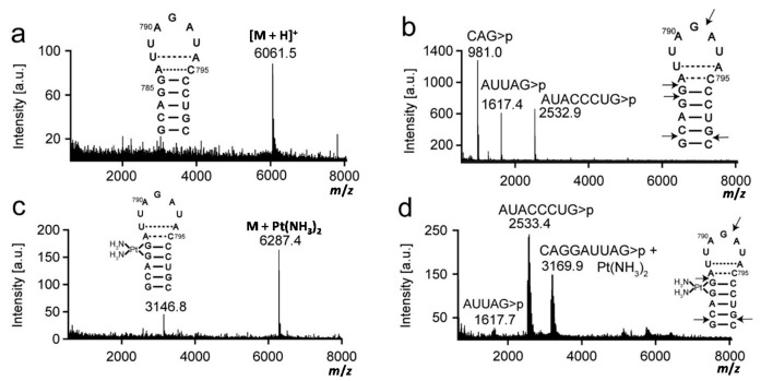 Mass analysis of platinated 790 loop is shown. Mass spectra of ( a ) 790 loop parent strand (unplatinated 790 loop); ( b ) RNase T1 digestion of unplatinated 790 loop; ( c ) platinated 790 loop; and ( d ) RNase T1 digestion of platinated 790 loop are shown. Arrows indicate RNase T1 cleavage sites.