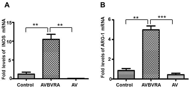 BVRA over-expressed macrophages showed increased INOS and ARG-1 expression levels. INOS ( A ) and ARG-1 ( B ) mRNA expression were detected by qRT-PCR in over-expressed BVRA macrophages; n = 4, *** p
