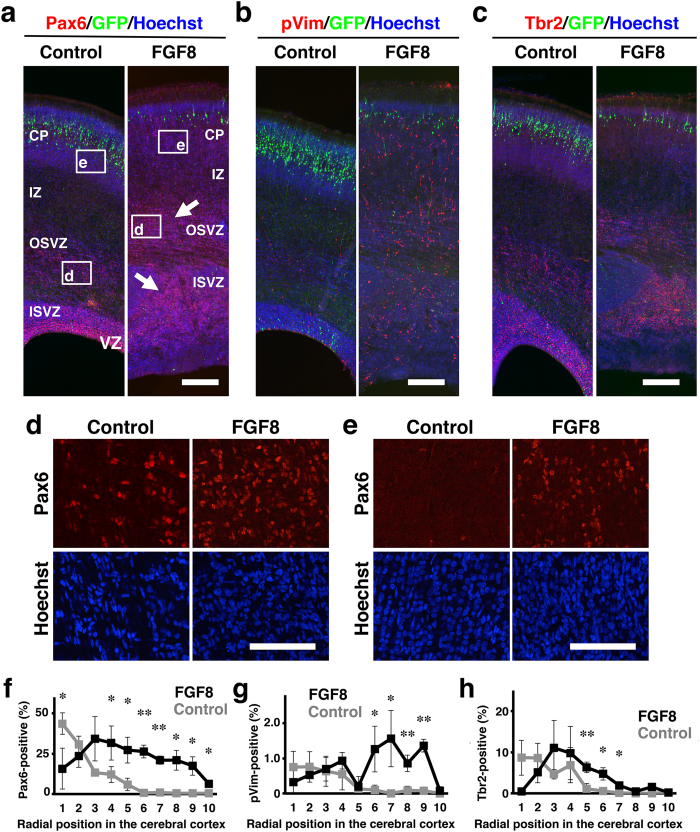 The distribution of Pax6-, pVim- and <t>Tbr2-positive</t> cells in the cerebral cortex of developing TD ferrets. GFP and FGF8 were expressed in the ferret cerebral cortex at E33 using in utero electroporation, and the brain was prepared at P6. Coronal sections were stained with Hoechst 33342 (blue) plus either anti-Pax6 antibody, anti-phosphorylated vimentin (pVim) antibody or anti-Tbr2 antibody (red). ( a – c ) The cerebral cortex containing the transfected GFP-positive area (green) is shown. Note that Pax6-positive cells (arrows), pVim-positive cells and Tbr2-positive cells were markedly increased in TD ferrets. ( d ) Pax6-positive cells in the OSVZ. Confocal images in the white boxes in ( a ) are shown. ( e ) Pax6-positive cells in the CP. Confocal images in the white boxes in ( a ) are shown. Note that Pax6-positive cells were markedly increased both in the OSVZ and in the CP. ( f – h ) The cerebral cortex was divided into 10 regions along the radial axis from the ventricular surface (1) to the pial surface (10). The numbers of Pax6-, pVim- and Tbr2-positive cells in each region were counted and were divided by the numbers of Hoechst 33342-positive cells in the same region. The percentages of positive cells are shown. Bars represent mean ± SD. *p