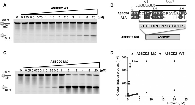 An engineered A3BCD2 mutant with much higher mC deamination activity ( A ) Gel image showing the mC deamination activity by A3BCD2 WT construct. A3BCD2 at various concentrations was incubated with 600 nM 30 nt ssDNA substrate containing mC at 37°C for 2 h. ( B ) Design of A3BCD2 Mt0 construct. Sequence alignment of A3BCD2 and A3A shows the difference around the loop-1 region (see Supplementary Figure S4 for a full alignment). The 15-amino-acid sequence in the loop-1 region of A3A was inserted into the corresponding region in A3BCD2 to make A3BCD2 Mt0. ( C ) Gel image showing the mC deamination activity by A3BCD2 Mt0. A3BCD2 Mt0 at various concentrations was incubated with 600 nM 30 nt ssDNA substrate at 37°C for 2 h. ( D ) Quantification of the mC deamination by A3BCD2 WT and Mt0, showing significantly increased activity on mC by Mt0 mutant.