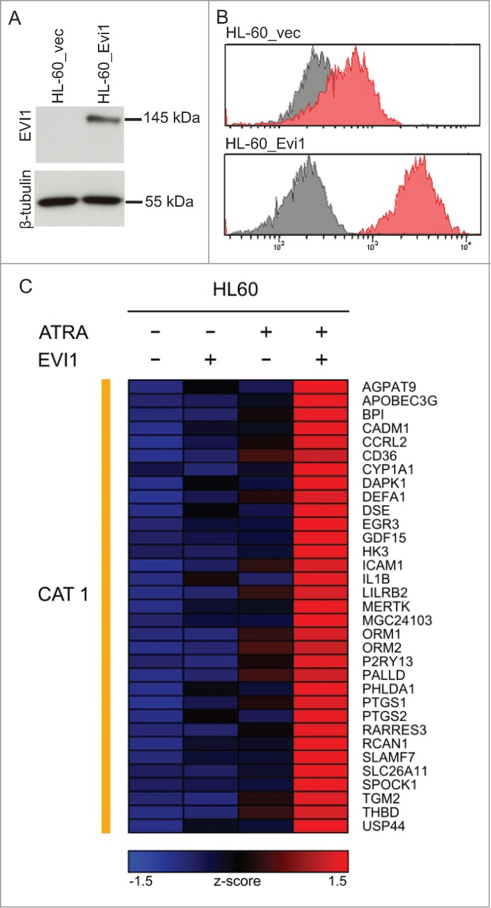 Evi1 and ATRA cooperatively regulate gene expression in HL-60 cells. ( A ) Immunoblot analysis demonstrating expression of ectopic Evi1 in HL-60_Evi1 cells. ( B ) Intranuclear staining and flow cytometry showing expression of ectopic Evi1 in HL-60_Evi1 cells on the single cell level. Red, EVI1 antibody; gray, isotype control. ( C ) Heatmap representing the expression (z-score) of genes whose induction by ATRA was enhanced by, or observed only in the presence of, Evi1 (category 1, CAT1) in HL-60 cells. In this model system, no genes fulfilled the criteria for inclusion into categories 2-4.