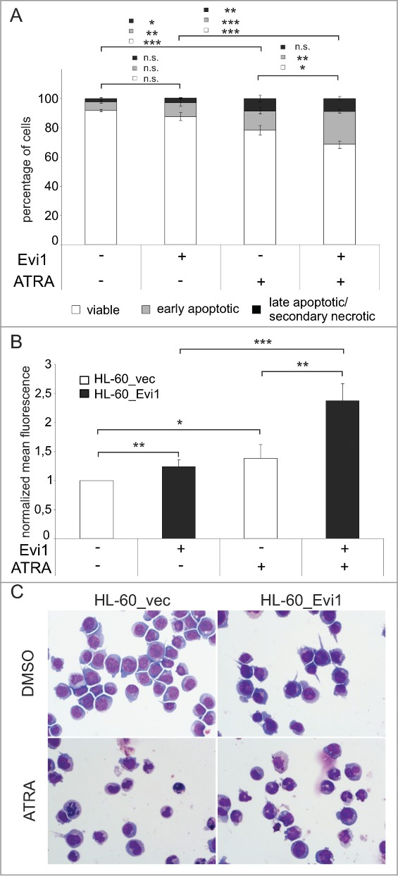 Evi1 enhances ATRA induced apoptosis and differentiation in HL-60 cells. ( A ) HL-60_vec and HL-60_Evi1 cells were treated with solvent or ATRA for 5 days, stained with Annexin V and 7AAD, and analyzed by flow cytometry. Double negative cells were classified as viable (white portions of bars), Annexin V positive 7AAD negative cells as early apoptotic (gray portions of bars), and double positive cells as late apoptotic/secondary necrotic (black portions of bars). 89 Results represent means +/- SEs of 8 independent experiments. ( B ) HL-60_vec cells (white bars) and HL-60_Evi1 cells (black bars) were treated with solvent or ATRA for 5 days, stained with PE-conjugated CD11b or isotype control antibodies, and subjected to flow cytometry. Results are expressed as the means of the PE fluorescence of CD11b stainings relative to that of the respective isotype controls and to untreated HL-60_vec cells, and represent the means + SEs of 7 independent experiments. Significance was calculated using Student's 2-tailed t-test (*, P
