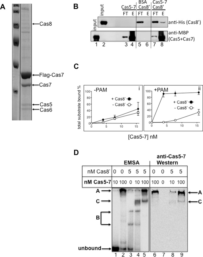 Interaction of Cas8 and Cas8′ with Cas5–Cas7 ( A ) Coomassie stained SDS/PAGE profile of co-purifying proteins with Flag-Tagged Cas7 expressed in Haloferax cells. Cas8 was detected by MS. ( B ) Reconstitution of physical interaction between purified Methanothermobacter Cas8′ (20 μg) with purified complex of affinity tagged Methanothermobacter Cas5–Cas7 (20 μg). Upper panel shows western blot using anti-(His) 6 antibody to detect (His) 6 Cas8′ and the lower panel used anti-MBP antibody to detect MBP in MBP–Cas5–Cas7. 'Input' is a duplicate loading of total amount of used Cas8′ (upper panel) or Cas5–Cas7 (lower panel). Cas8′ was detected in the elution ( E ) after binding to amylose—MBP–Cas5–Cas7 (lane 8) but did not bind to amylose pre-bound with BSA (lane 6). ( C ) Measurements of duplex DNA binding ±PAM by Methanothermobacter Cas5–Cas7 either with or without Cas8′, as labelled. Data values for total DNA binding were calculated for each concentration of Cas5–Cas7 (4, 8, 15 nM) ±Cas8′ (5 nM). ( D ) Corresponding EMSA and western blots for detection of Cas5–Cas7 in a Cas8′ dependent in-gel complex. Lanes 1–5 (left panel) show phosphorimaged EMSA complexes arising from reactions binding of Cas5–Cas7 (complex A) or Cas8′ (B complexes). A new complex C was observed when Cas5–Cas7 and Cas8′ are present. Western blotting detected Cas5–Cas7 in complex C (lanes 8 and 9), as well as complex A (lanes 6, 8 and 9).