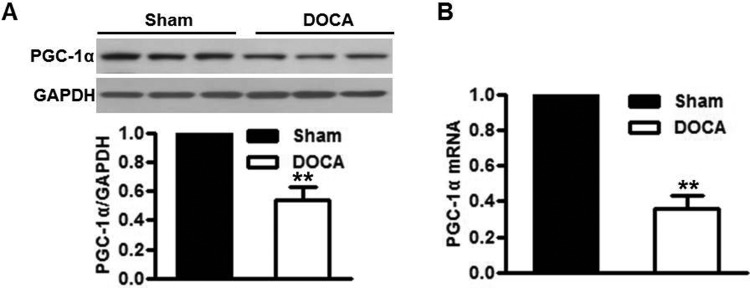 Reduced PGC-1 α is found in the aortas of DOCA-salt hypertensive mice ( A and B ) PGC-1α expression in aortas of mice treated with DOCA-salt over a 3-week period was determined by western blot ( A ) and quantitative PCR ( B ). ** P