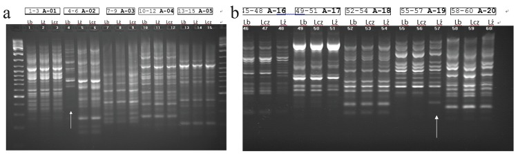 DNA extracted from three fresh Maca hypocotyls ( L. peruvianum Chacon) Lb = Black; Lcz = Red; Lz = Yellow. Lines observed in RAPD analysis, particularly in wells 4 (Figure 5a: primer A-02 5'-TGCCGAGCTG-3') and well 57 (4th from the right - Figure 5b: primer A-19 5'-CAAACGTCGG-3') pointing with arrows at phenotypes Black (Lb) and Yellow (Lz) respectively may indicate an existence of genetic polymorphism. *Boxes above each of the three phenotypes sequence (Lb, Lcz and Lz) indicate well numbers (from – to) and corresponding primer code used for the sequence. The reaction used: 50 ng DNA, 20 pmol of each primer (OPL Kit OPERON or single RAPD primer OLIGO), and 7.5 μl of PCR Mix (Fermentas 2×). The final volume of the reactions was 15 μl.