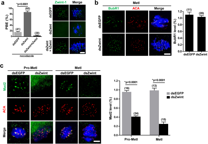 Mad2-mediated SAC inactivation in Zwint-1-knockdown oocytes. ( a ) Oocytes injected with the indicated dsRNA were cultured with 400 nM nocodazole from 4 h after GVBD and the PBE rate was scored at 13 h after GVBD. Data are mean ± SEM from three independent experiments (* p