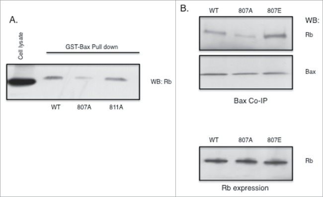 Rb phosphorylation at S807 is required for association with Bax. Rb mutant plasmids were generated as described in the Materials and Methods section. Rb-negative <t>C33A</t> cells were transfected using <t>Fugene</t> (Promega). ( A ) Rb plasmids expressing either S807A or S811A alanine mutants were transfected into cells and 48 hours later cell lysates were utilized in GST-Bax fusion protein pull down assays. Proteins associated with GST-Bax were analyzed by immunoblotting with Rb antibodies. ( B ) Rb plasmids expressing either S807A or S807E mutants were transfected into C33A cells and 48 hours later co-immunoprecipitation with Bax antibodies was performed. Immunoprecipitates were analyzed by immunoblotting with Rb and Bax antibodies. Equivalent expression of the Rb mutant proteins in the C33A cells is verified by immunoblotting (lower panel). Data shown is representative of three independent experiments.