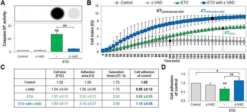Inhibition of pan-caspase regained etoposide (ETO)-induced loss of cell adhesion. ( A ) Caspase 3/7 activity was measured using the Caspase-Glo 3/7 Assay and detected with a luminescence reader in ETO-treated cells co-treated with z-VAD, and the intensity is shown in the image. ( B ) Cells treated with ETO (green color) and co-treated with z-VAD (caspase inhibitor, blue color) were harvested at 72 h and cell adhesion, including cell index (CI) and saturation times (ST), were measured after detection by the xCELLigence system for 10 s intervals and monitored for 205 min. Black closed diagram indicate saturation (±1%) times. ( C , D ) The table shows cell size (FSC), adhesion area (CI), and saturation times (ST; h) at which cell adhesion was examined using computational analysis when compared to the control. The histogram shows cell adhesion levels using the derived formula for calculations (statistical analysis P-value of *P