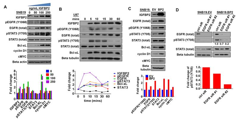 IGFBP2 activates STAT3 through EGFR ( A) Immunoblot analysis of SNB19 cells starved of serum overnight then stimulated with exogenous IGFBP2 protein at the indicated dosages (0, 50, 100, 250 ng/mL) for 60 minutes. Densitometric analysis shown below the immunoblot indicates fold-change relative to unstimulated control cells (normalized to beta-actin loading control or total protein for phosphorylated proteins). ( B ) Immunoblot analysis of U87 cells starved of serum overnight then stimulated with exogenous IGFBP2 (100ng/mL) for the indicated time points (0, 5, 10, 15, 30, 60 minutes). Densitometric analysis shown below the immunoblot indicates fold-change relative to unstimulated control cells (normalized to loading control or total protein for phosphorylated proteins). ( C ) Immunoblot analysis comparing stable SNB19 empty vector cells (SNB19.EV) to SNB19 cells stably overexpressing IGFBP2 (SNB19.BP2). Densitometric analysis shown below the immunoblot indicates fold-change relative to SNB19.EV after normalization to beta-tubulin loading control (or total protein for phosphorylated proteins). ( D ) Immunoblot analysis comparing SNB19.EV and SNB19.BP2 cells depleted of EGFR via 2 independent pools of EGFR siRNA (EGFR sir#1, EGFR sir#2) to cells transfected with scrambled negative control siRNA (ctrl siR). The intensity of pSTAT3(Y705), quantified by densitometry, is shown below the immunoblot as fold-change relative to control siRNA, normalized to total STAT3.