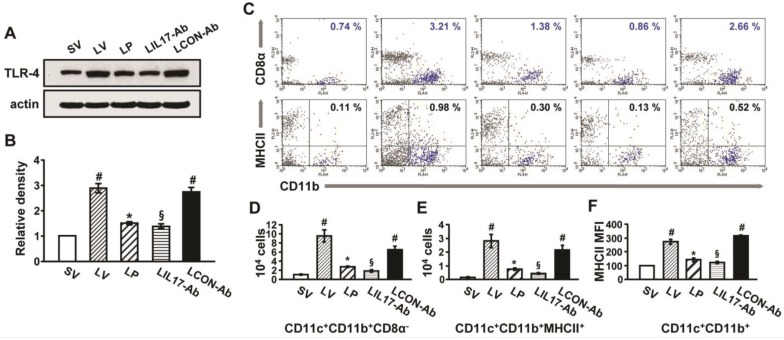 Effect of anti-IL-17A antibody or 4-PBA on levels of TLR4 and infiltration of CD11b + CD11c + MHC II + cells in lung tissues of LPS-instilled mice. (A and B) Representative immunoblot of TLR4 in lung tissues (A) and densitometric analysis of TLR4 (B) . (C) Dot plot analysis of CD11b + CD11c + MHC II + cells that infiltrated lung tissues in SV, LV, LP, LIL17-Ab, and LCON-Ab mice. (D and E) Numbers of infiltrated DCs. (F) Mean fluorescence intensity for MHCII + cells. Sampling was performed at 48 hours after the instillation of LPS. Bars represent mean±SEM from 6 mice/group. # P