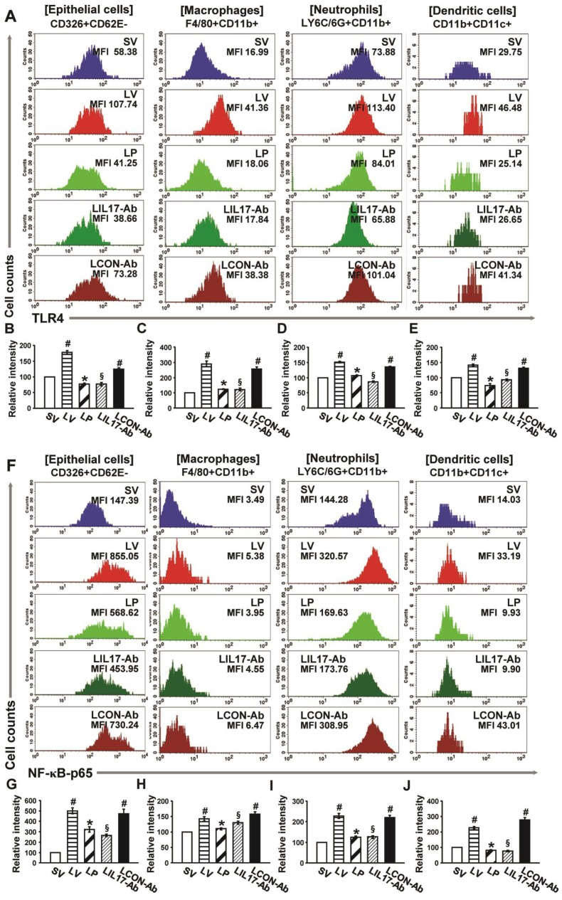 Effects of anti-IL-17A antibody and 4-PBA on the expression of TLR4 and NF-κB in airway epithelial cells, macrophages, neutrophils, and dendritic cells from LPS-instilled mice. (A) Representative histogram of the expression of TLR4 in various cells of lung from LV-instilled mice. (B-E) Fluorescence intensity of TLR4 in airway epithelial cells (B) , macrophage (C) , neutrophils (D) , and dendritic cells (E) is presented as the ratio of the levels of TLR4 in each group relative to those in SV mice. (F) Representative histogram of the expression of NF-κB in nuclear extracts of various cells of the lung from LV-instilled mice. (G-J) Fluorescence intensity of NF-κB in nuclear extracts of airway epithelial cells (G) , macrophage (H) , neutrophils (I) , and dendritic cells (J) is presented as the ratio of the levels of NF-κB in each group relative to those in SV mice. Sampling was performed at 48 hours after the instillation of LPS. Bars represent mean ± SEM from 5 mice/group. # P