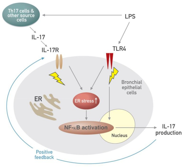 Schematic diagram for the role of the interplay between ER stress and IL-17A in LPS-induced lung injury.