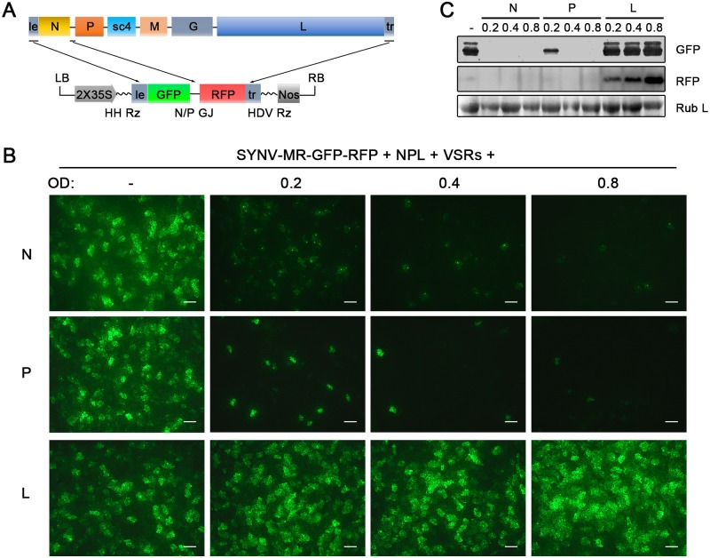 Improvement of SYNV minireplicon (MR) expression by optimizing the core protein ratios. (A) Schematic representation of the SYNV MR-GFP-RFP containing GFP and RFP reporter genes substituted for the N and P ORFs. The SYNV MR-GFP-RFP antigenomic RNA was transcribed from a CaMV double 35S promoter (2X35S), and flanked by a Hammerhead ribozyme (HH Rz) and HDV ribozyme (HDV Rz) sequence to produce exact 5′- and 3′- ends. le: leader; tr: trailer; LB: left border sequence; RB: right border sequence; Nos: nopaline synthase terminator; N/P GJ: N/P gene junction. (B) Visualization of plaques expressing GFP reporter protein in infiltrated plants. Equal volumes of 0.8 OD Agrobacterium cultures harboring the SYNV MR-GFP-RFP, pGD-NPL and the three VSRs plasmids were mixed and infiltrated into N . benthamiana leaves. Additional volumes of bacterial cultures containing the pGD-N (upper panels), pGD-P (middle panels) or pGD-L plasmids (bottom panels) at 0.2, 0.4 or 0.8 OD as indicated on the top of panels, were also included in the mixture to test their effects on reporter expression. Infiltrated leaves were photographed at 9 dpi with a fluorescence microscope under the GFP channel. Scale bar, 200 μm. (c) Detection of GFP and RFP protein levels in agroinfiltrated leaves by Western blotting using GFP- and RFP-specific antibodies. The Coomassie blue-stained Rubisco large subunit (Rub L) serves as a total protein loading control.