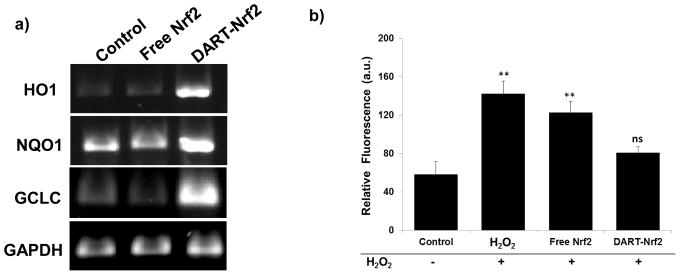 DARTs are able to deliver Nrf2 to hepatocytes, up-regulate Nrf2 downstream genes, and can protect hepatocytes against reactive oxygen species (ROS) a , Nrf2 delivered by DARTs enhances the expression of HO1, NQO1, and GCLC. RT-PCR of HepG2 cells treated with DART-Nrf2 complexes up-regulate HO1, NQO1, and GCLC. Free Nrf2 had no effect on HO1, NQO1, and GCLC gene expression. b , Nrf2 delivered by DARTs reduces ROS levels in HepG2 cells stressed with hydrogen peroxide. ROS levels in hydrogen peroxide stressed cells were not significantly reduced by free Nrf2, whereas DART-Nrf2 decreased ROS production down to levels comparable to control cells, mean ± S.E, n=9. **, p