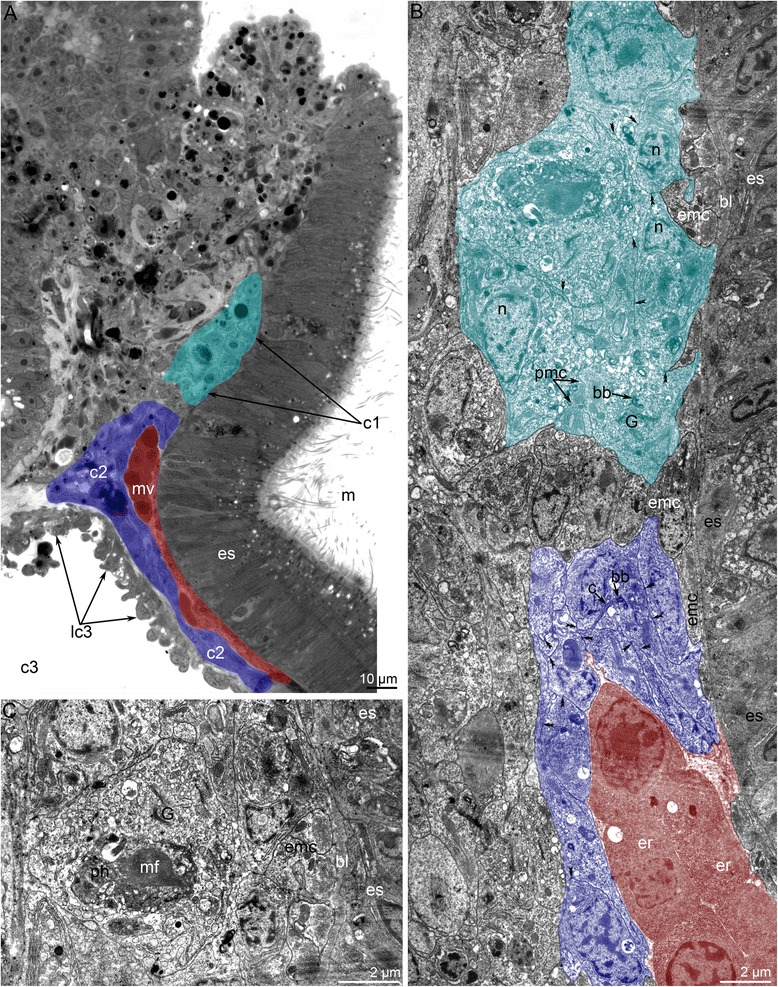 Organization of the protocoel in 4-day-old juvenile of Phoronopsis harmeri . Color code: red – median blood vessel; cyan – protocoel; blue – mesocoel. a Sagittal semithin section of the epistome. b Sagittal thin section of the protocoel (c1), mesocoel (c2), and median blood vessel (mv). Desmosomes are indicated by double arrowheads. c Portion of the protocoel lining (lc1). Large cell with phagosome (ph), which contains degenerated myofilaments (mf). Abbreviations: bb – basal body; bl – basal lamina; c – cilium; c3 – trunk coelom; emc – muscle cells, which form musculature of esophagus; er – erythrocyte; es – esophagus; G – Golgi apparatus; lc3 – lining of trunk coelom; m – mouth; n – nucleus; pmc – projections of muscle cells