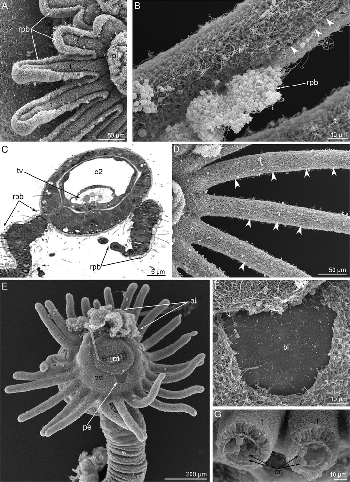 Details of metamorphic remodeling of external morphology in Phoronopsis harmeri . Photographs according to SEM (A-B, D-G) and semithin section ( c ). a Tentacles (t) of metamorphic animal with continuous rope of postoral ciliated band (rpb). b A portion of tentacle with degenerated epithelium of postoral ciliated band: line of former location of the postoral ciliated band is indicated by arrowheads. c Pair of latero-frontal ropes of postoral ciliated band is evident on each tentacle. d Tentacles after remodeling: line of former location of the postoral ciliated band is indicated by arrowheads. e Anterior portion of the body in metamorphic animal with partly consumed preoral lobe (pl) and spacious oral disc (od) with peeled epithelium (pe). f A portion of the oral disc is covered by basal lamina (bl). g Cross section of juvenile tentacles (t) with erythrocytes (er). Abbreviations: c2 – mesocoel; m – mouth; tv – tentacle vessel