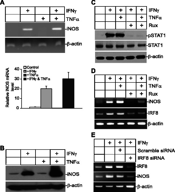 IFNγ and TNFα cooperatively induce iNOS expression in human colon carcinoma cells. a Tumor cells were treated with IFNγ, TNFα, or both IFNγ and TNFα for approximately 18 h, and analyzed for iNOS expression by RT-PCR. β-actin was used as a normalization control. b Cells were treated as in A and then analyzed by Western blotting analysis of iNOS expression with β-action as an internal control. c Tumor cells were cultured in the presence of Ruxolitinib for 30 min and then treated with IFNγ and TNFα as indicated for 18 h. Total lysates were then prepared and analyzed for STAT1 and pSTAT1 levels by Western blotting analysis. d The cells were treated as in C and then analyzed by RT-PCR for iNOS expression. e The cells were transfected with either scramble siRNA or human IRF8-specific siRNA for 6 h and the cells were treated with IFNγ for 18 h. The cells were analyzed for IRF8 and iNOS expression by RT-PCR with β-actin as a normalization control