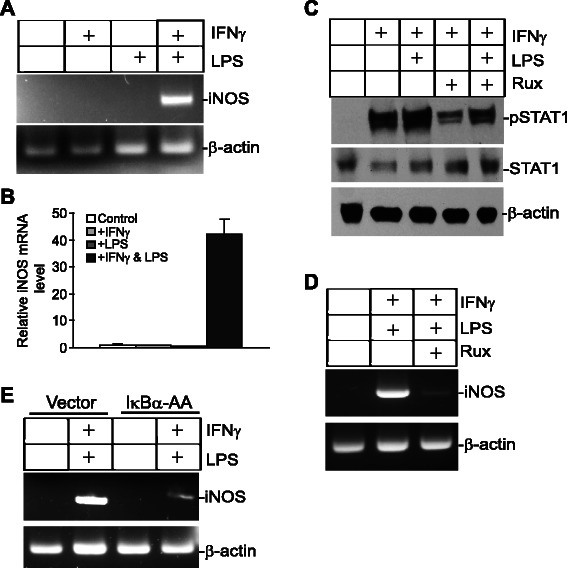 IFNγ and NF-κB induce iNOS expression in myeloid cells. a J774 cells were treated with IFNγ, LPS, or both IFNγ and LPS for approximately 18 h, and analyzed for iNOS expression by RT-PCR. β-actin was used as a normalization control. b Cells were treated as in A and then analyzed by real time RT-PCR analysis of iNOS expression with β-action as an internal control. c J774 cells were cultured in the presence of Ruxolitinib for 30 min and then treated with IFNγ and LPS as indicated for 18 h. Total lysates were then prepared and analyzed for STAT1 and pSTAT1 levels by Western blotting analysis. d J774 cells were cultured in the presence of Ruxolitinib for 30 min and then treated with IFNγ and LPS for 18 h. iNOS expression was then analyzed by RT-PCR. e J774 cells were transiently transfected with a control vector or a vector containing the dominant negative IκBα-AA mutant, respectively. Cells were treated with IFNγ and LPS for approximately 18 h, and then analyzed for iNOS expression