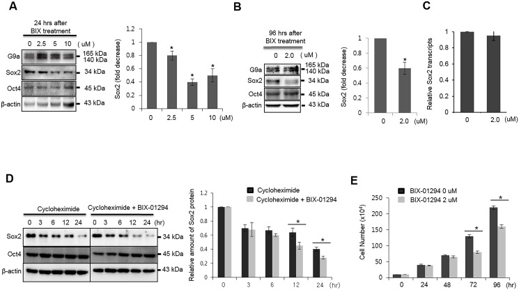Chemical inhibition of G9a activity reduces the stability of Sox2 protein in MCF7 cells. (A) MCF7 cells were treated with the indicated doses of BIX-01294 for 24 h. Whole cell lysates were harvested and analyzed by immunoblotting with G9a-, Sox2-, and Oct4-specific antibodies. (B) MCF7 cells were treated with 0.2 μM of BIX-01294 for 96 h, and whole cell lysates were analyzed for the expression of Sox2 and Oct4. (C) MCF7 cells were treated with 2.0 μM BIX-01294 for 96 h, and the levels of Sox2 transcripts were analyzed by real-time RT-PCR analysis. mRNA levels were normalized to those of GAPDH. (D) Sox2 and Oct4 protein levels in MCF7 cells were analyzed by immunoblotting after cells were treated with 2.0 μM BIX-01294 in the presence of the protein synthesis inhibitor, cycloheximide (5 μM). The graph shows band intensity data normalized according to the controls and β-actin. (E) Cell growth was analyzed by counting cell numbers at the indicated times after treatment with 2.0 μM BIX-01294. For quantitative analysis of the immunoblotting results, the mean density of the Sox2 band was measured with Multi Gauge V3.0 software, and the band density was divided by the density of β-actin to obtain the normalized band density. * P