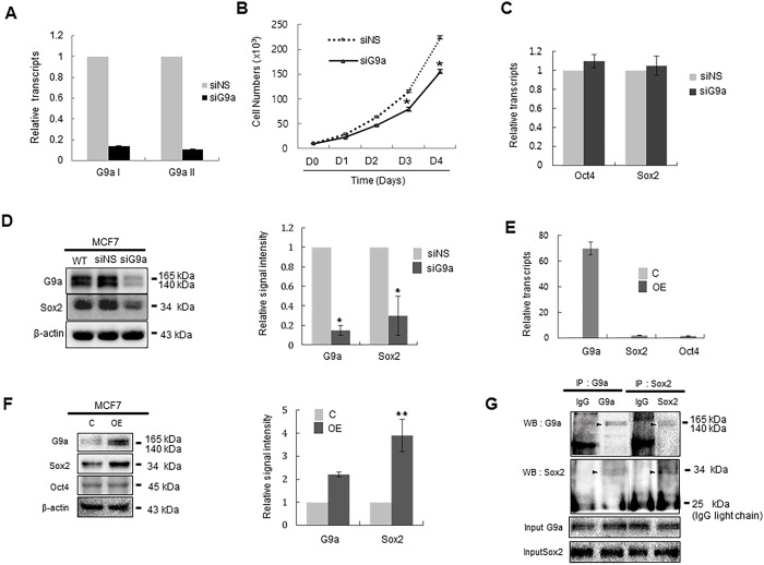 The expression level of G9a affects the amount of Sox2 protein in MCF7 cells. (A) MCF7 cells were transfected with siNS or siG9a for 24 h, and G9a transcript levels were analyzed by real-time PCR by priming two positions of G9a ORF (G9aI and G9aII). mRNA levels were normalized to those of GAPDH. G9aI and G9a2 primer sets were designed to amplify 1299~1531 bp and 2326~2637 bp of G9a ORF, respectively. (B) The effect of G9a on the proliferation of MCF7 cells. MCF7 cells (1 × 10 4 ) were transfected with siNS or siG9a and then counted at the indicated times post-transfection. (C) MCF-7 cells were transfected with siNS or siG9a for 24 h, and the effect of G9a knockdown on the transcription of Oct4 and Sox2 was quantitatively analyzed by real-time RT-PCR. (D) MCF-7 cells were transfected with siNS or siG9a for 24 h, and the effect of G9a knockdown on the amount of Oct4 and Sox2 protein was analyzed by immunoblot analysis. (E) MCF-7 cells were transfected with control or G9a expression plasmids for 24 h, and the effect of G9a overexpression on the transcription of Sox2 and Oct4 was quantitatively analyzed by real-time RT-PCR. (F) MCF-7 cells were transfected with control or G9a expression plasmids for 24 h, and the effect of G9a overexpression on the amount of Sox2 and Oct4 was quantitatively analyzed by immunoblot analysis. (G) Co-immunoprecipitation of endogenous Sox2 and G9a in MCF7 cells. Total protein extract of MCF7 cells was immunoprecipitated with Sox2 and then immunoblotted with G9a antibody. The reciprocal experiment was also performed in which total protein of MCF7 cells was immunoprecipitated with G9a and then immunoblotted with Sox2 antibody. The specific bands corresponding to the G9a and Sox2 was arrowed. Abbreviations: siNS, non-specific siRNA; siG9a, siRNA targeting G9a; C, control plasmid; OE, G9a-expressing plasmid; IP, immunoprecipitation; IB: immunoblotting. For quantitative analysis of the immunoblotting results, the mean density of the Sox2 or G9a b