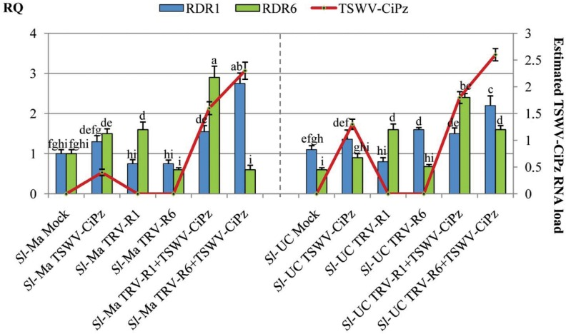 VIGS of RDR1 and RDR6 in Sl-Ma and Sl-UC plants. Relative quantity (RQ) of RDR1 and RDR6 transcripts (columns) in samples of Sl - Ma and Sl - UC plants collected at 14 dpa with A . tumefaciens carrying pTRV1+ pTRV2-RDR1 (Sl-Ma TRV-R1 and Sl-UC TRV-R6) and pTRV1+ pTRV2-RDR6 (Sl-Ma TRV-R1 and Sl-Ma TRV-R6). RQ values were first normalized on the accumulation level of the GAPDH mRNA (Δ cycle threshold [Ct] = Ct GAPDH –Ct target RNA) and then used to determine the relative quantification of each target RNA with a calibrator, according to the formula ΔΔCt = ΔCt calibrator –ΔCt target RNA. Each target mRNA in an individual mock-inoculated plant served as calibrator (RQ set to 1) for the respective gene. RQ for RDR1 and RDR6 transcripts was deduced by the formula expression 2 -ΔΔCt . Columns represent mean RQ values from three biological replicates and different letters represent statistically significant differences values according to separate one-way ANOVA analysis for each target mRNA, using Tukey's test (P = 0.05). Vertical bars on columns represent standard deviations among replicates. Figure shows also estimates of the accumulation of TSWV-CiPz RNA (red line) in agroinfiltrated plants. After collection of leaf samples, plants were inoculated with TSWV-CiPZ on the first and second true leaves above remnants of cotyledons and load of viral RNA estimated at 19 dpi with dot blot hybridization. Vertical bars on line represent standard deviations among replicates.
