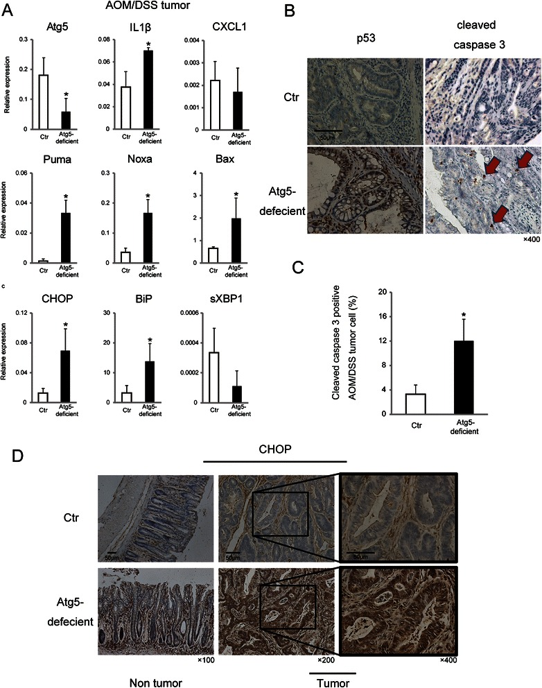 Atg5 inhibition-induced p53, caspase 3, and UPR activation in colon tumors. a Relative expression of the indicated mRNAs extracted from AOM/DSS-derived tumors in Ctr mice and Atg5- deficient mice 7 days after TAM injection. GAPDH was used as an internal control. Data shown are means ± SEM ( n = 3). *; p