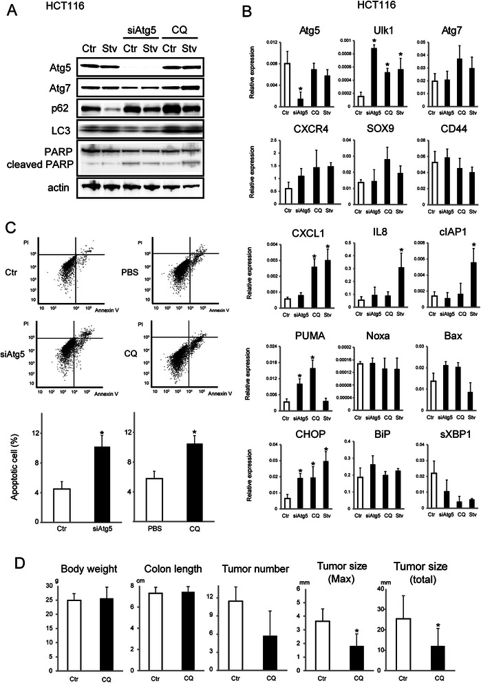 Antitumor effects exerted by autophagic inhibition in p53 wild-type colon cancer cells. a Immunoblot analysis of the indicated proteins in HCT116 cells transfected with non-silencing control siRNA (Ctr) or siRNA targeting Atg5 (siAtg5) for 72 h or treated with 100 μM CQ with or without amino acid starvation (HBSS medium, Stv) for 24 h. b Relative expression of the indicated mRNAs extracted from HCT116 cells transfected with non-silencing control siRNA (Ctr) or siRNA targeting Atg5 (siAtg5) for 72 h or treated with 100 μM CQ with or without HBSS medium (for amino acid starvation; positive control, Stv) for 24 h. Data shown are means ± SEM ( n = 3). *; p