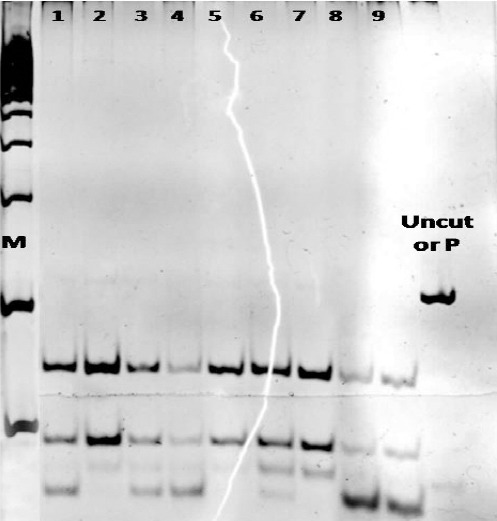 Electrophoresis of <t>RFLP</t> products in patients who were exposed to sulfur mustard during the Iran-Iraq conflict. None of our patients (1, 2… 9) revealed FLT3-TKD mutation, because the <t>EcoRV</t> enzyme could digest the FLT3 gene sequences to two 68 bp and 46 bp pieces. In the positive control sample (uncut or P) the enzyme could not digest this and the sequence remained 114 bp. M: marker