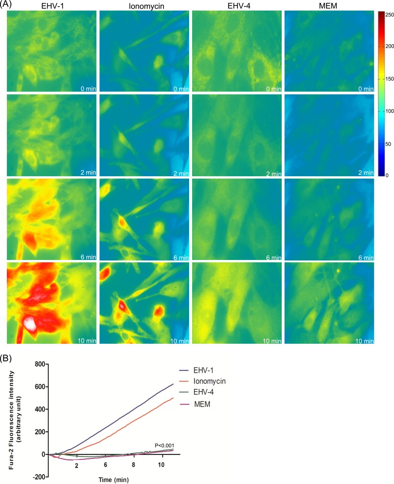 EHV-1 triggers the increase of cytosolic Ca 2+ . (A) ED cells were loaded with Fura-2AM, and live fluorescent images were taken every 5 s prior to and following the addition of EHV-1, ionomycin, EHV-4, or Ca 2+ -free medium (MEM) at time point 50 s. Shown is one representative image captured at each of the indicated time points. (B) The curves shown refer to the average of three independent experiments of fluorescence intensities of Fura-2AM versus time of excited ED cells being exposed to EHV-1, EHV-4, ionomycin, or MEM. P