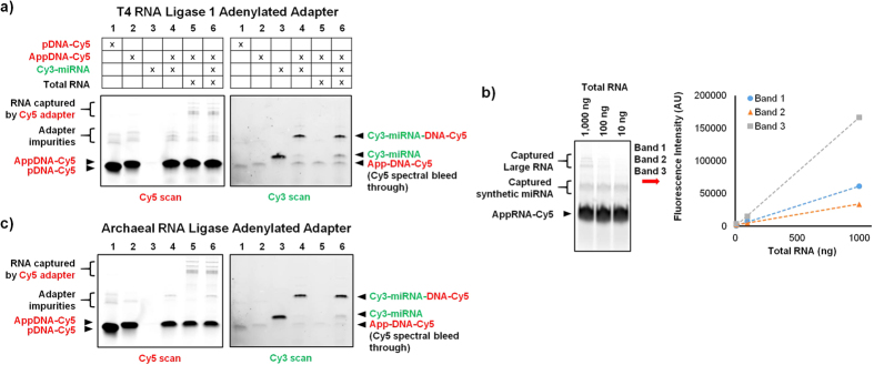 microRNA-adapter ligation was performed using adenylated adapters generated by either (a) T4 RNA ligase 1 or (c) archaeal RNA ligase. The adapters were labeled with Cy5 while the synthetic microRNA were labeled with Cy3. Lanes 1 and 2 show that both methods are capable of fully adenylating the adapters. Lanes 4 and 6 show that let-7a microRNA can be effectively ligated both in the absence and presence of total RNA background. Lane 5 shows that large RNA molecules within the total RNA are captured by both adapters. No de-adenylation is observed with either method. ( b ) The T4 RNA ligase 1 adenylated adapter was used to capture RNA from 10, 100, or 1000 ng of pancreatic tissue total RNA spiked with 0.01 picomoles of 6 synthetic microRNA. The three ligation products from the top are large RNA molecules intrinsic to the total RNA that have been captured by the adapter. As expected, they vary in linear proportion to the total RNA input. The band in the middle is the spiked microRNA captured by the adapter which remains constant across all three samples as expected. The large band at the bottom of the gel is free adenylated Cy5 adapter.