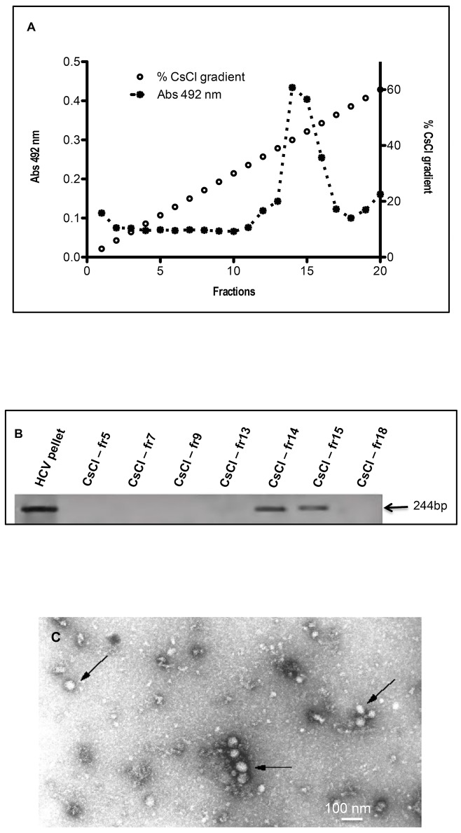 ApoH binds the RNA-containing HCV-related particles. (A) Isolation of HCV-related particles by ultracentrifugation. After the ultracentrifugation at 436,000 x g for 4 h at 4°C of pooled sera from HCV/RNA-positive patients, 100 μL fractions of the pellet were layered onto a 900 μL CsCl gradient ranging from 10% to 60% (w/w) (open dots) and ultracentrifuged again at 300,000 g for 18 h at 4°C. The resulting gradient fractions were ten-fold diluted and tested using the HCV-ApoH immunoassay (black dots). (B) The presence or the absence of HCV-RNA in the centrifugation pellet was revealed by RT-PCR, prior to the CsCl gradient and after the gradient, in some of the resulting gradient fractions (CsCl-fr 5, 7, 9, 13, 14, 15 and 18). (C) CsCl ultracentrifugation gradient fractions corresponding to a density of 1.45 g/mL were layered directly onto ApoH-coated electron microscopy grids to observe the purified HCV-particles as previously done for HBV [ 44 ].