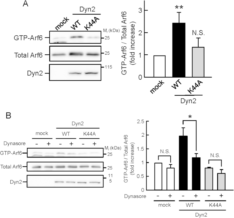 Dyn2 activates Arf6 in a manner dependent on its GTPase activity. ( A ) HA-tagged wild type of Dyn2 or its GTPase-deficient mutant K44A was coexpressed with Arf6-Flag in HeLa cells. After 24 hr, the active GTP-Arf6 was pulled down with glutathione-Sepharose beads conjugated with glutathione S -transferase (GST)-tagged leucine zipper region II (LZII) (amino acids 398–455) of JNK-interacting protein (JIP), which specifically binds to the active form of Arf6, and immunoblotted with anti-Flag antibody (left panel). Total Arf6 and Dyn2 expressed in the cell were also immunoblotted with anti-Flag and -HA antibodies, respectively. Right panel shows the means ± SEM of the levels of GTP-Arf6 from eight independent experiments. Statistical significance was calculated using Tukey multiple comparison test; ** P