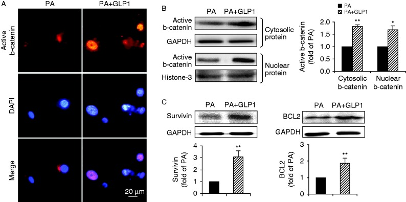 GLP1 restored the attenuated b-catenin signaling induced by PA. (A) Representative images of subcellular distribution of active b-catenin (red, b-catenin and blue, DAPI; scale bar, 20 μm) in cardiomyocytes incubated with PA in the absence or presence of GLP1 (25 nM). (B and C) Western blot assay for cytosolic and nuclear b-catenin, survivin and BCL2. Intensities were quantified and normalized against the level of GAPDH or histone-3 and expressed as fold changes of protein abundance under PA stimulus. Data are means± s.e.m . of three independent experiments. * P