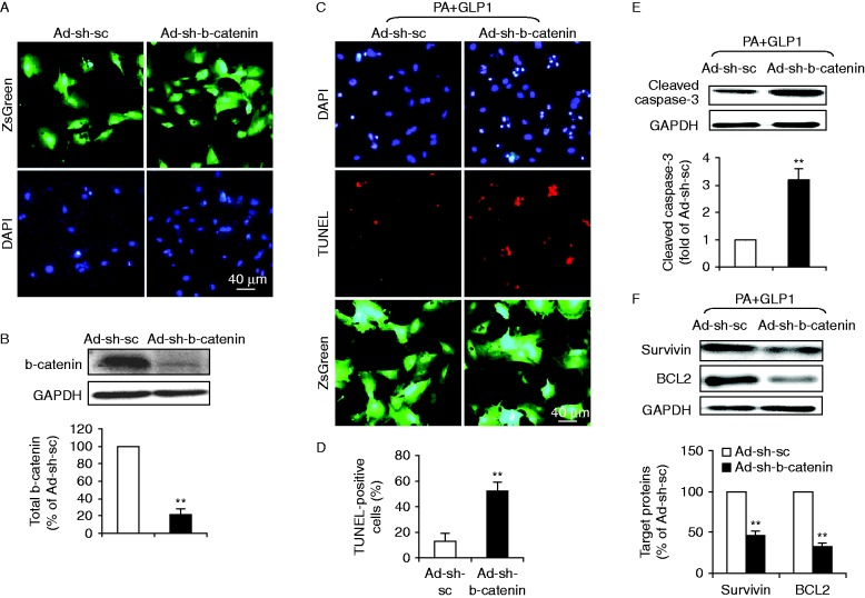 b-Catenin was required for GLP1-mediated anti-apoptotic effects upon lipotoxicity. A recombinant adenovirus coding shRNA for b-catenin (Ad-sh-b-catenin) or for scramble sequences (Ad-sh-sc) was constructed to express ZsGreen protein as a marker for the identification of infected cells. Cultured cardiomyocytes were infected with respective adenoviruses at a MOI of 10. After 24 h, cells were treated with palmitate (PA) and GLP1 (25 nM) for another 24 h. (A) Transduction efficiency of recombinant adenoviruses was assayed by ZsGreen fluorescence analysis (green, ZsGreen and blue, DAPI; scale bar, 40 μm) 1 day after infection. (B) The suppression efficiency of b-catenin using shRNA was determined by western blot analysis for total b-catenin expression. (C, D, E and F) The effect of b-catenin silencing on GLP1 action in PA-treated cardiomyocytes was further assessed. (C) Representative images showed TUNEL staining for apoptotic cells (red, TUNEL and blue, DAPI; green, ZsGreen; scale bar, 40 μm). (D) Quantification of apoptotic nuclei was expressed as the percentage of TUNEL-positive to DAPI-positive cells. (E and F) Western blot analysis for cleaved caspase-3, survivin and BCL2. Intensities of protein expression were quantified, normalized against the level of GAPDH and expressed as relative changes to protein abundance in cardiomyocytes infected with scramble control (Ad-sh-sc). Data are means± s.e.m . of three independent experiments. ** P