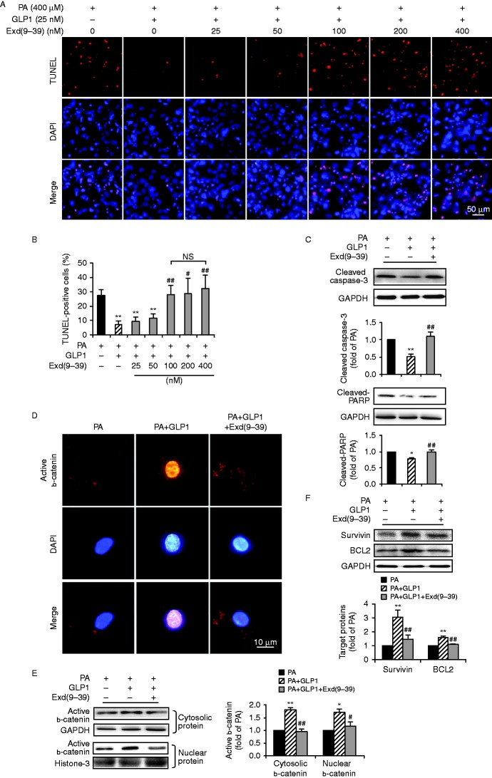 The anti-apoptotic effect of GLP1 occurred via the GLP1 receptor. (A and B) Isolated cardiomyocytes cultured at PA (400 μM) for 24 h were treated with GLP1 (25 nM) alone, or in combination with an increasing amount (25–400 nM) of Exd(9–39). Representative diagrams showed TUNEL staining of apoptotic cells (red, TUNEL and blue, DAPI; scale bar, 50 μm) (A). Quantification of apoptotic nuclei were expressed as the percentage of TUNEL-positive cells to DAPI-positive cells (B). 25 nM of GLP1 and 100 nM of Exd(9–39) were adopted in subsequent experiments (C, D, E and F). Western blot analysis for cleaved caspase-3 and cleaved-PARP (C); cytosolic and nuclear b-catenin (E); survivin and BCL2 (F). Intensities were quantified and normalized against the level of GAPDH or histone-3 and expressed as fold changes of protein abundance under PA stimulus. Data are means± s.e.m . of three independent experiments. * P