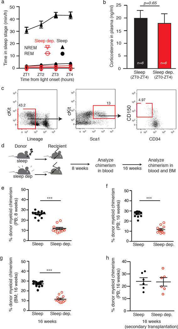 HSCs isolated from sleep-deprived mice have reduced mid-term and long-term reconstitution potential in lethally irradiated hosts ( a ) Mice were sleep-deprived, by gentle handling, for four hours, immediately after light onset (ZT0-ZT4; n=8 per group). Rapid eye movement (REM) and non-REM (NREM) duration were determined using electroencephalography (EEG) and electromyography (EMG), individually plotted for each hour (sleep deprived points in red; mean±s.e.m). ( b ) Plasma of the sleep and sleep-deprived mice was analyzed by ELISA for corticosterone levels (n=8 per group; mean±s.e.m). ( c ) We isolated HSCs from mice that were allowed to sleep or sleep-deprived mice. The flow cytometry gating scheme for HSCs isolation is shown on a representative mouse. (d) To test the mid-term and long-term transplantation potential of the isolated HSCs we intravenously injected 300 HSCs mice into lethally irradiated congenic recipients (to distinguish between the donor and recipient cells we used CD45.1 mice as donors and CD45.2 as recipients). Peripheral blood (PB) samples were collected from the recipient mice at ( e ) eight weeks (peripheral blood), ( f ) 16 weeks and ( g ) bone marrow (BM) post-transplantation. Cells were analyzed for myeloid chimerism, as determined by the percentage of myeloid cells derived from the donor compared to the total number of myeloid cells in the indicated tissue (mean±s.e.m; Student's t -test; *** p