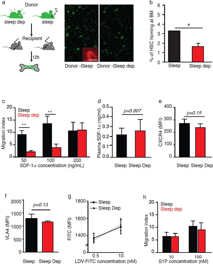 HSCs from sleep-deprived mice have reduced homing capacity in vivo and in vitro (a) HSCs (2000 FACS-purified cells) derived from GFP-expressing, sleep-deprived mice were transplanted into lethally irradiated congenic mice that did not express GFP (control mice were allowed to sleep for the same duration). The donor HSCs were visualized 12 hours later in the recipient's bone, under a fluorescence microscope. GFP expression was validated using anti-GFP staining and a representative image is shown in the insert. Scale 10µm (n=6–11 mice per group; mean±s.e.m). ( b ) The number of GFP-labeled cells in the recipient's bone marrow was determined. Results are presented as the percentage of homing, assuming that two tibias and two femurs represent 20% of total mouse bone marrow (student's t -test ; p=0.021; t=2.56; df=15 ). ( c ) Migration towards SDF-1α was determined in vitro using a transwell migration assay. KLS cells were placed in the upper chamber and the chemoattractant (SDF-1α, 50, 100, or 200ng/mL) was immersed in the medium of the lower chamber. Migration across the membrane in response to the chemoattractant was determined using flow <t>cytometry,</t> after four hours of incubation, and compared to baseline migration in the absence of the chemoattractant. Results are presented as a migration index (50ng/mL SDF-1α: 9.6 ± 1.7% in the sleep group compared to 2.06 ± 0.4% in the sleep-deprived group; 100ng/mL SDF-1α: 14.5 ± 3.4% in the sleep compared to 3.6 ± 1.4% in the sleep-deprived mice; Repeated measures ANOVA- sleep: F (2,15)=10.18, p