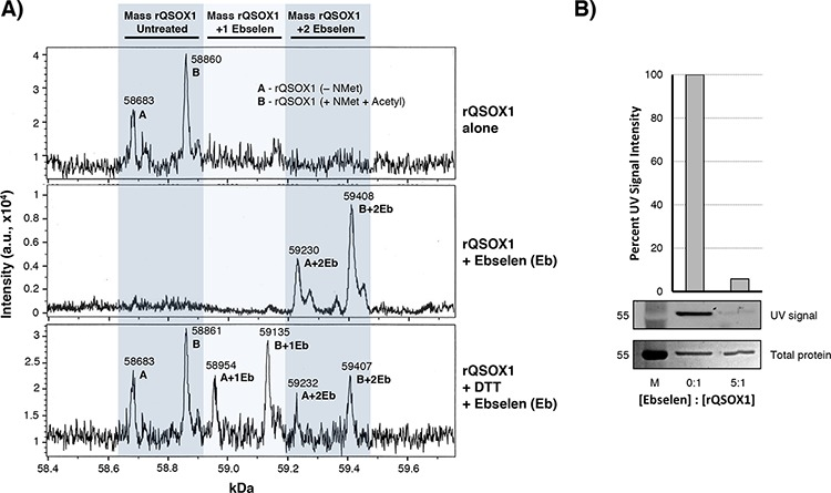 Ebselen binds covalently to rQSOX1 at cysteine residues A. Charge deconvoluted ESI-LC-MS spectra of rQSOX (top spectrum) in the absence of substrate, rQSOX1 treated with 5 μM ebselen (middle spectrum), and rQSOX1 treated with 5 μM ebselen in the presence of DTT substrate (bottom spectrum). The mass of an ebselen adduct is 274.18 Da. The left shaded column indicates the mass range of unmodified rQSOX1. Peak A is the mass of rQSOX1 without the N-terminal methionine and peak B is the mass of rQSOX1 with N-acetyl Met. The middle shaded column represents the mass of rQSOX1 with a single bound ebselen molecule with peaks labeled A+1Eb and B+1Eb. The right shaded column represents the mass of rQSOX1 with two ebselen adducts (A+2Eb and B+2Eb). B. QSOX1 pretreated with ebselen blocks the binding of fluoresceinated maleimide. A 5-fold molar excess of ebselen was added to 5 μg rQSOX1 prior to maleimide addition. UV imaging of SDS-PAGE gels show that maleimide binding to rQSOX1 is blocked by the addition of ebselen.