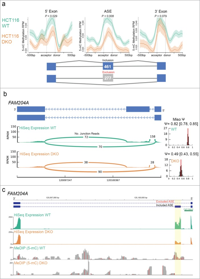 Ion Torrent-compatible MeDIP-Seq confirms a role for DNA methylation in alternative splicing. (a) Distribution of 5mC methylation over alternatively spliced exons (ASE) flanked by constitutively spliced exons (5' or 3' exons) in WT and DKO cells. Mean RPM values are displayed over ± 500 bp windows relative to the splice acceptor and donor sites at each of the exons as indicated, with s.e.m. depicted by shaded areas for WT (green) and DKO (orange) profiles. A schematic representation of cassette exons is shown, with the number of exons aberrantly included (blue) and excluded (gray) in WT vs. DKO cells indicated. P- values shown were calculated using one-sided KS test. (b) The ASE of the FAM204A gene (exon 2) is aberrantly excluded in DKO compared to WT cells. Schematic shows the 2 known isoforms for the FAM204A gene (blue bars depict the first 3 exons of the gene in the orientation indicated), under which a Sashimi plot generated by MISO analysis of RNA-Seq data measured as RPKM in WT and DKO cells illustrates the number of exon-exon junction reads as indicated to infer isoform expression. The left graphs show the MISO calculated distribution of a percent exon inclusion score (Psi-value; 95% confidence intervals in brackets) for the FAM204A ASE from WT (top) and DKO (bottom) RNA-Seq data. (c) Demethylation of the FAM204A ASE correlates with its aberrant exclusion. Scaled chromosomal view at the FAM204A gene region (ASE highlighted in yellow) of the indicated WT and DKO distribution of RNA-Seq (top pair) and DNA methylation (bottom pair) data displayed as RPKM. The first 3 exons of the gene are represented (blue bars) with a CpG island in the promoter region indicated (green bar). In the MeDIP-Seq data, red vertical lines correspond to areas containing CpGs.
