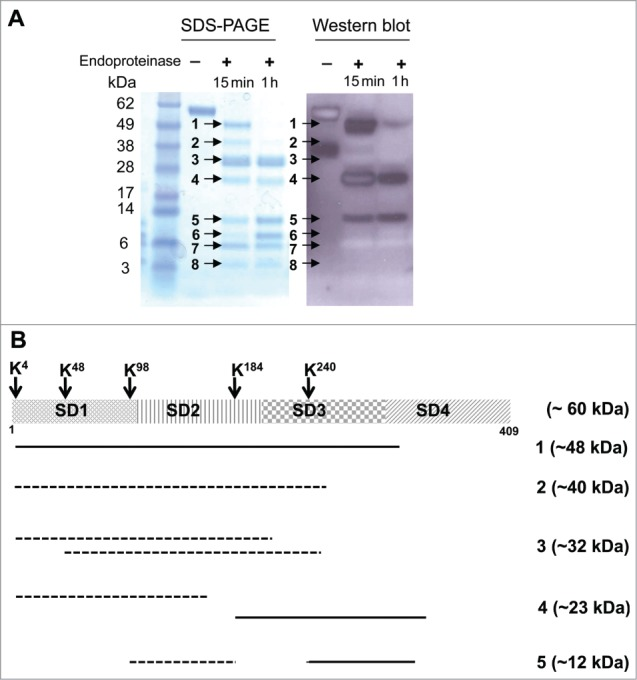 """Limited proteolytic digestion of IFNAR1. ( A ) Coomassie-stained SDS-PAGE and Western blot of fragmented human IFNAR1. Recombinant soluble IFNAR1 was treated with <t>endoproteinase</t> <t>Lys-C</t> for 15 min or 1h. The resulting fragments were separated as 8 bands (with 15 min treatment) labeled by arrows on the SDS-PAGE gel. Anifrolumab retained binding to 3 protein bands (1, 4, and 5). Western blot band number 4 after 15 min digestion appears as a so-called """"ghost band"""" likely due to sample or detection antibody overloading as previously described. 42 A ∼38 kDa band observed in the untreated IFNAR1 lane of the western blot was not detectable in the SDS-PAGE gel. This band is likely a minor degradation product that pre-existed in the initial protein preparation and was digested into smaller fragments upon endoproteinase treatment. ( B ) Schematic representation of the positions of digested IFNAR1 fragments as determined by N-terminal Edman sequencing. Apparent molecular weight (as estimated by SDS-PAGE) of all protein fragments are in parentheses. The positive fragments which were recognized by anifrolumab are shown in solid lines, and the negative bands are shown in dotted lines. The smallest ∼12 kDa fragment recognized by anifrolumab was approximately mapped to SD3-4 after the cleavage of K 240 ."""