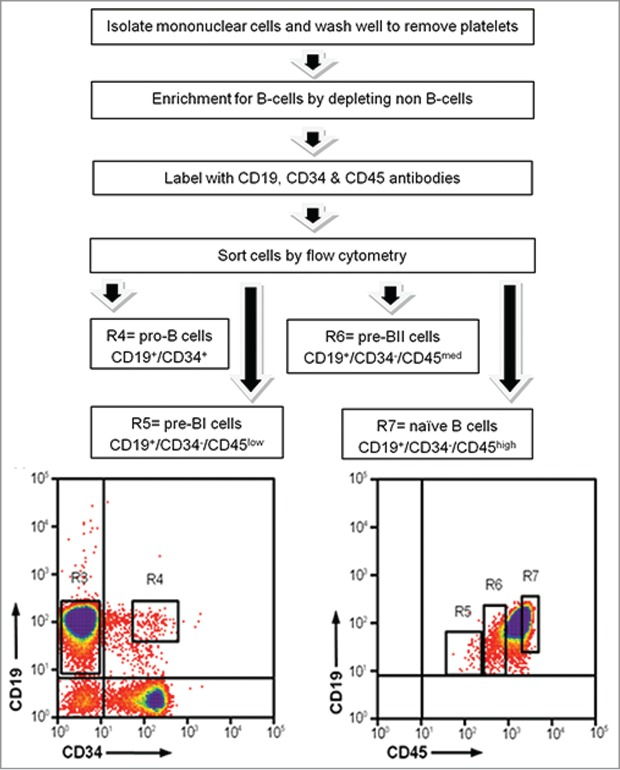 Isolation of precursor B-cell subsets from human umbilical cord blood. Mononuclear cells were isolated using density gradient centrifugation to remove all non B-cells. B-cells were labeled with cell surface antibodies and sorted into 4 separate tubes. R4: pro-B-cells; R5: pre-BI cells; R6: pre-BII cells; R7: naïve B-cells.