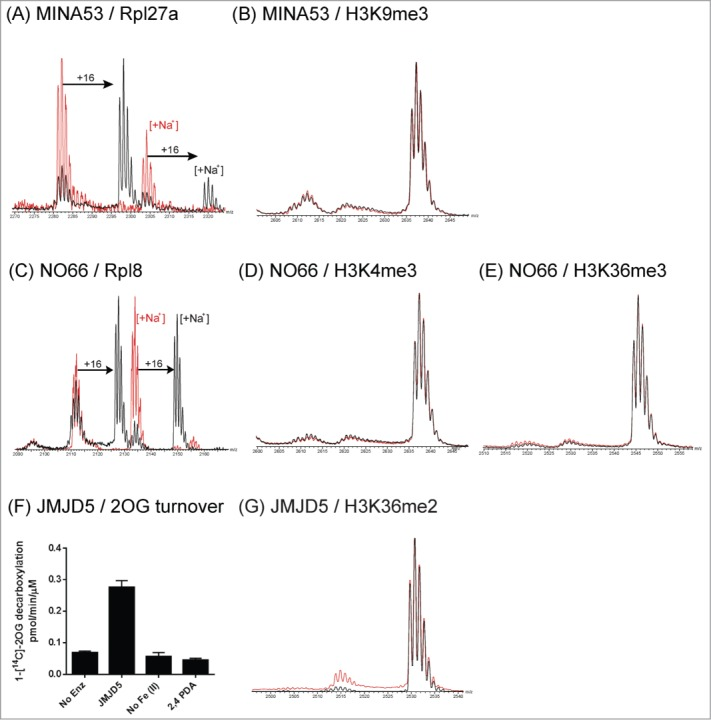 JmjC Oxygenases MINA53, NO66 and JMJD5 do not catalyze demethylation of histone peptides. In addition to putative demethylation activities, MINA53 and NO66 have been characterized as hydroxylases acting on ribosomal proteins Rpl27a and Rpl8 respectively. Hydroxylation activities were observed for MINA53 and NO66, acting on Rpl27a and Rpl8 peptide fragments respectively ( A and C ); no demethylation was observed with methylated histone peptides ( B , D and E ). Prime-substrate uncoupled turnover of 2OG by JMJD5 (residues 1–416) was observed in a [ 14 C]-labeled 2OG assay, which was dependent on the presence of iron(II) and inhibited by the broad-spectrum 2OG oxygenase inhibitor 2,4-pyridinedicarboxylic acid (2,4 PDA) ( F ). However, demethylation of an H3K36me2 histone peptide was not observed ( G ). Control reactions without added protein are in red.